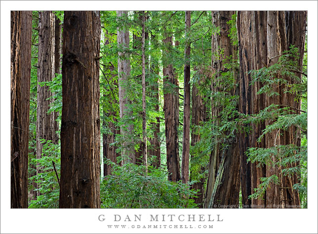Redwood Forest, Morning. Muir Woods National Monument, California. © Copyright G Dan Mitchell.
