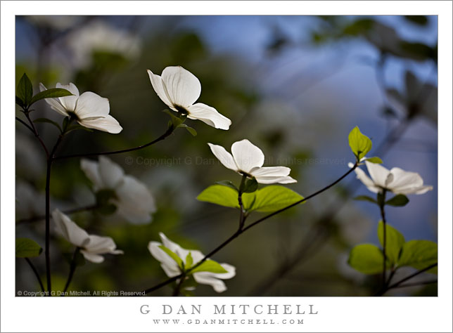 Dogwood Tree in Bloom, Detail