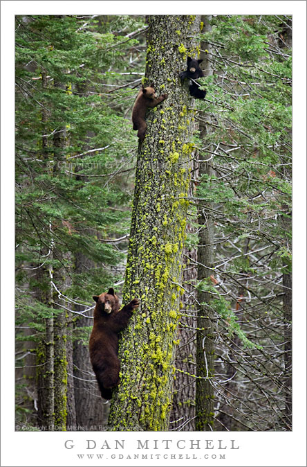 Bear Family in Tree, Yosemite