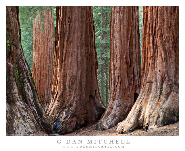 Five Sequoias, Mariposa Grove