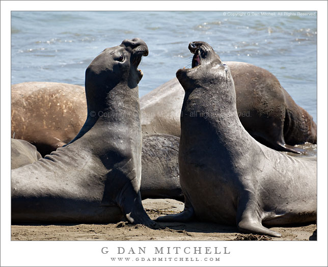 Two Elephant Seals Sparring