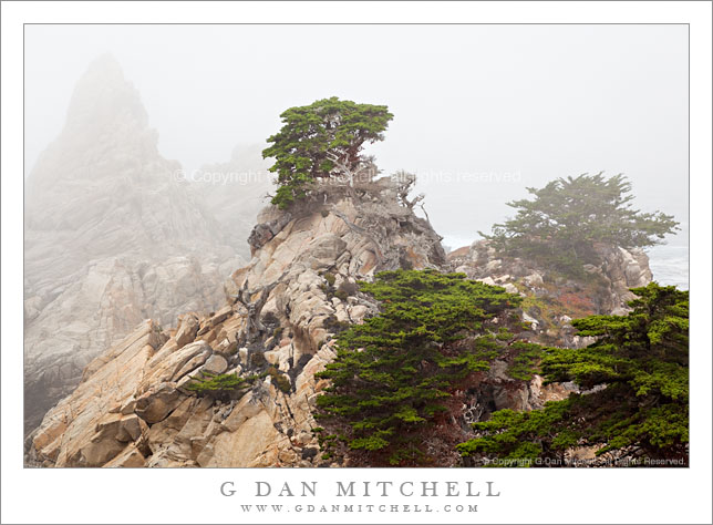 Cypress Trees in Fog