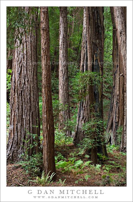 Redwood Trees and Ferns