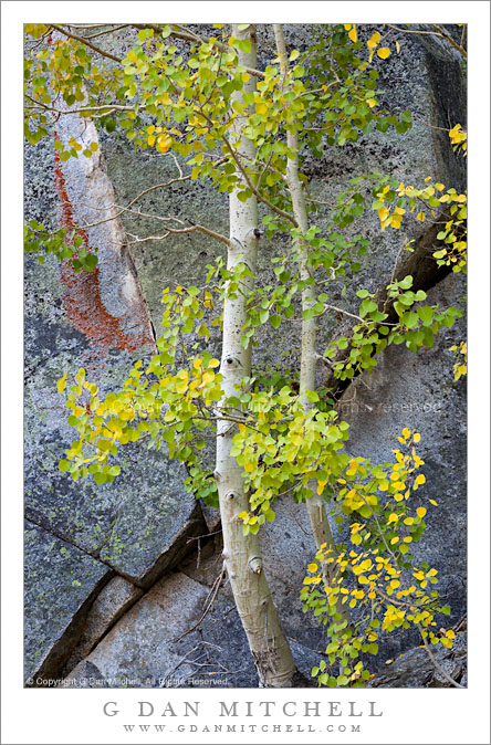 Aspen Trees, Rock Face With Lichen