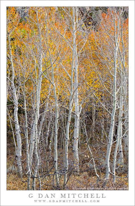 Aspen Trunks, Autumn