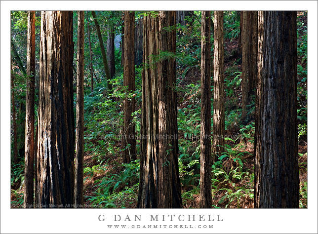 Redwood Forest, Morning Light