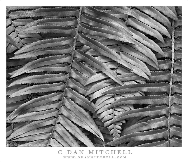 Late Winter Ferns, Muir Woods (Black and White)