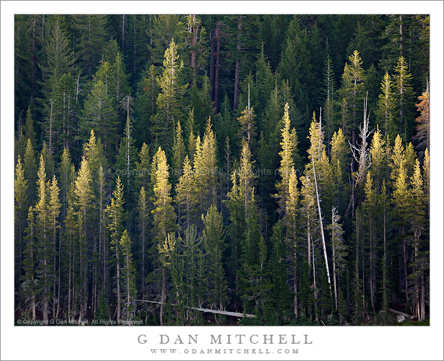 Lodgepole Forest, First Light