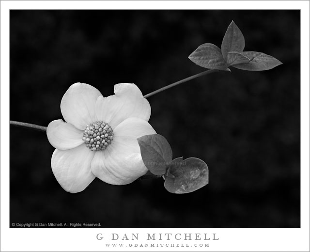 Dogwood Bloom and Leaves - An early dogwood blossom and leaves in Yosemite Valley, California.
