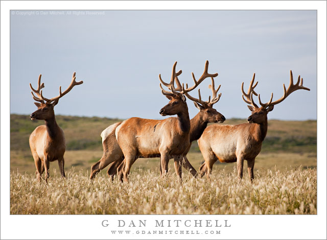 Four Tule Elk, Point Reyes - Four tule elk in the meadows at Point Reyes National Seashore.