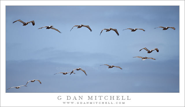 Pelican Flock, Waddell Creek Beach