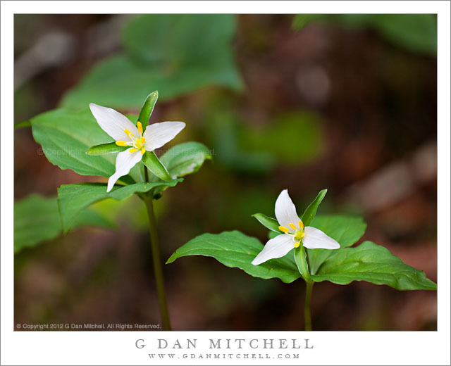 G Dan Mitchell Photograph Two Trillium Blossoms Ggnra