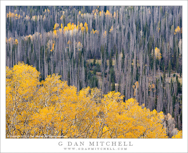 Aspen Covered Hills - Aspens, some golden and some bare, cover high elevation slopes near Brian Head, Utah