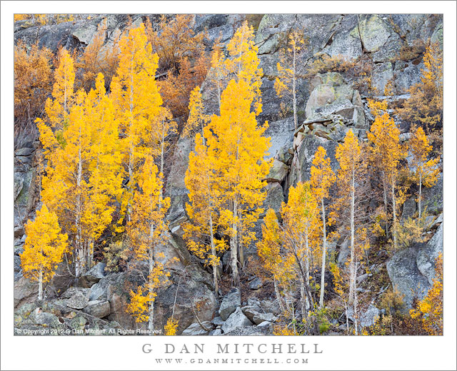 Aspens and Granite, Autumn - Aspen trees with golden autumn leaves grow among boulders on a rocky eastern Sierra Nevada slope