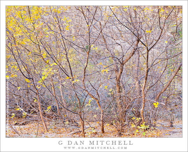 Box Elder Thicket, Fall - A dense thicket of box elder trees along the Escalante River, Utah