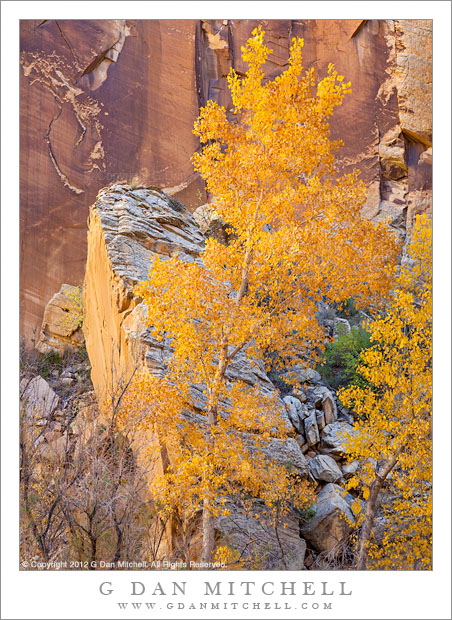 Cottonwood, Fallen Monolith, and Cliff - Sunlight reflected from nearby canyon walls illuminates an autumn cottonwood tree in front of a fallen sandstone monolith and vertical cliff face.