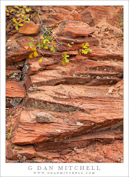 Oak Branch and Layered Sandstone After Rain - Branch and autumn leaves of a gambel oak drape over layered sandstone after rain, Zion National Park