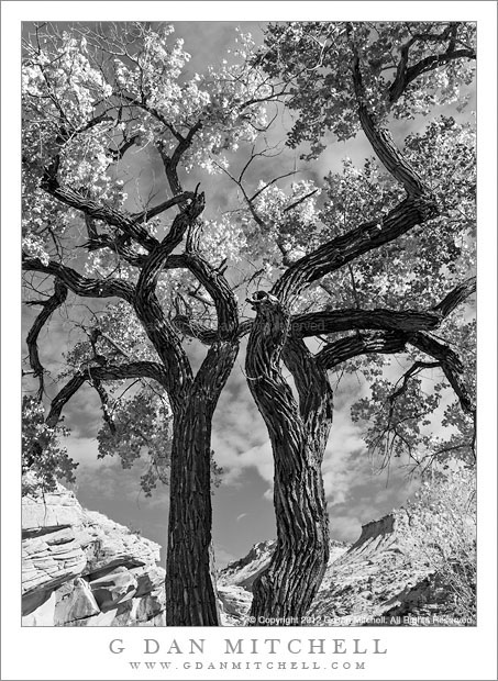 Old Cottonwood Trees, Autumn - Old cottonwood trees against autumn sky, Grand Staircase-Escalente National Monument