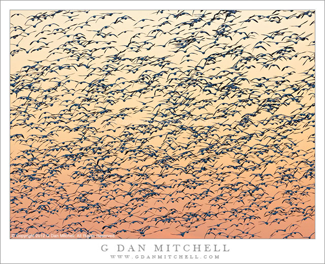 Ross's Geese Fill the Sky - A large flock of Ross's geese fill the dusk sky during the fly-in, San Joaquin Valley, California