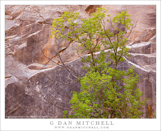 Slot Canyon Tree - A box elder tree stands against the vertical sandstone walls of a Utah slot canyon