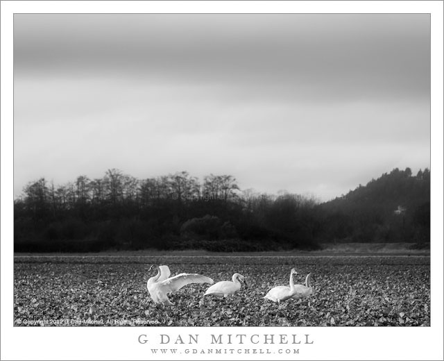 Trumpeter Swans, Field - A small group of trumpeter swans on a misty day in a Skagit Valley field, Washington