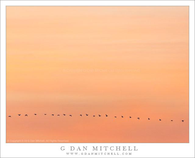 Ross's Geese, Dusk Sky