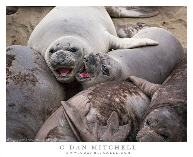 Young Elephant Seals
