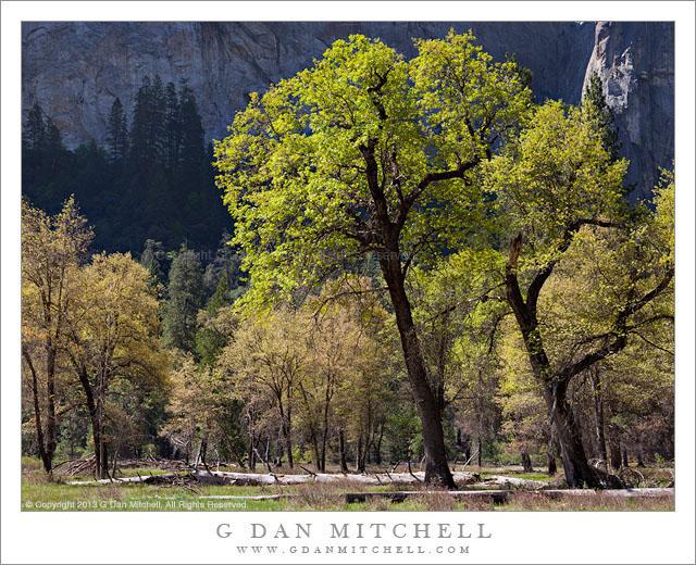 Oak Trees, Spring