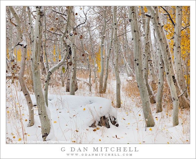Aspen Grove, Autumn Snow