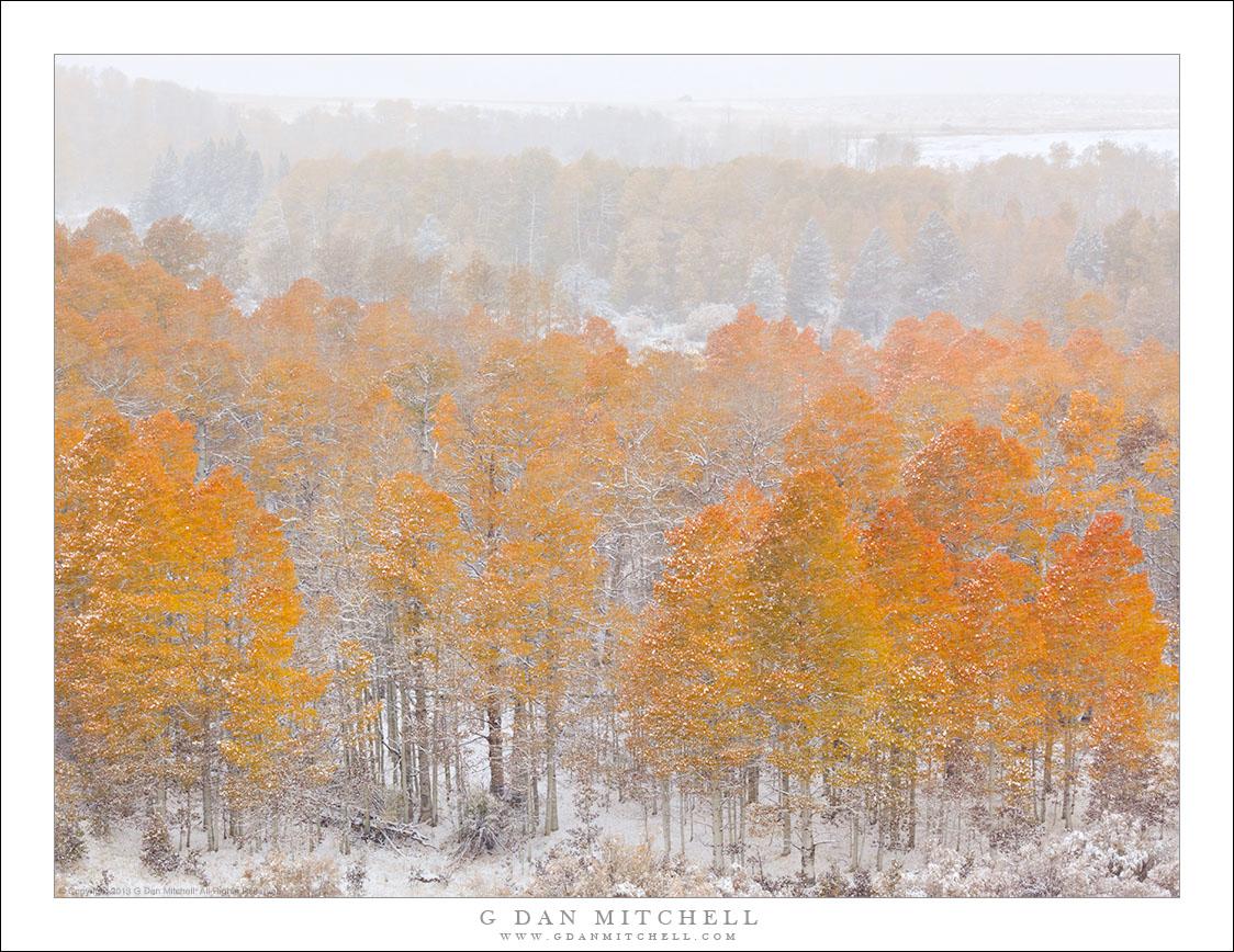 Aspens, First Autumn Snow