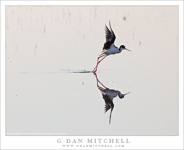 Black-necked Stilt Taking Flight