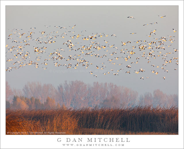 Geese Above Marsh, Morning