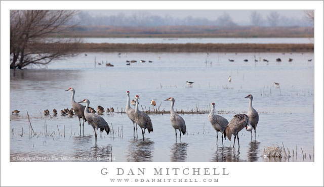 Sandhill Cranes, Wetlands Marsh