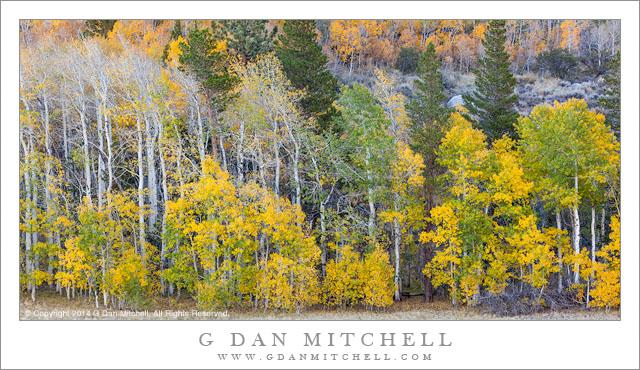 Sierra Aspen Groves, Autumn