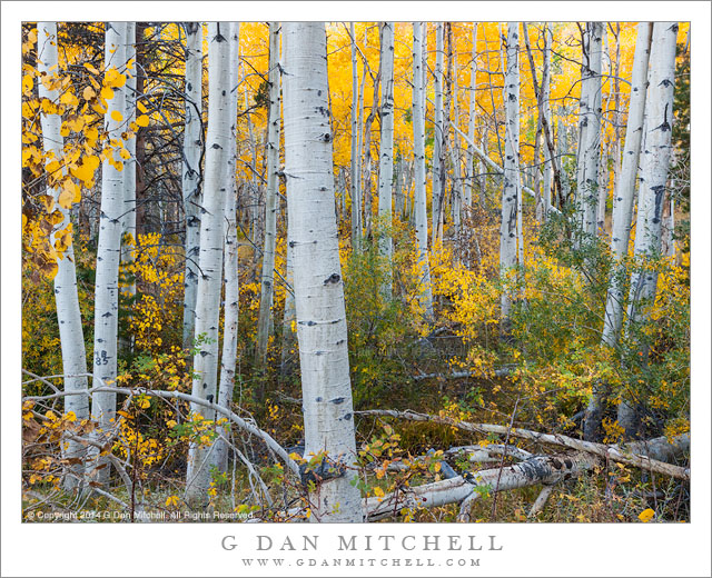 Aspen Thicket, Eastern Sierra