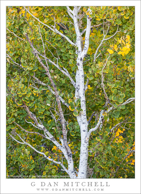 Aspen Tree in Transition