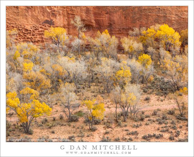 Canyon Cottonwood Trees, Autumn