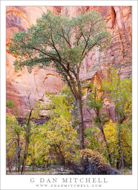 Cottonwood Tree, Sandstone Cliff