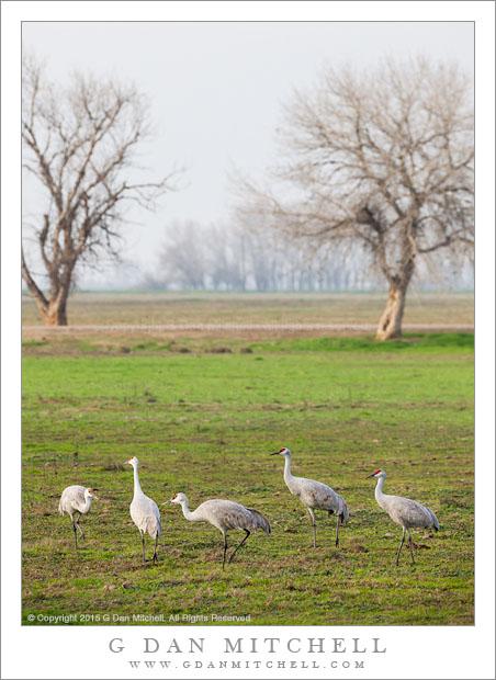 Quintet of Cranes