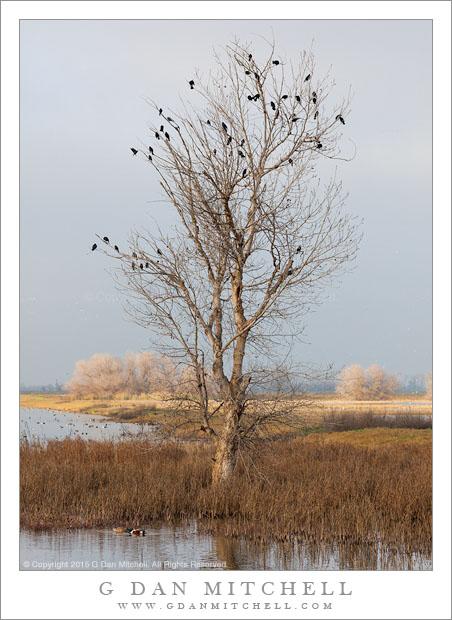 Red-Winged Blackbirds, Wetland Tree
