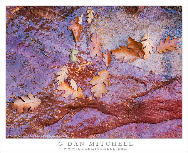 Oak Leaves, Reflections, Spring