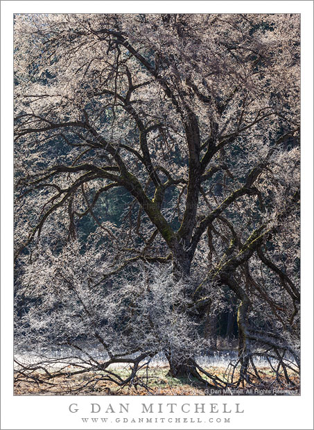 Oak and Morning Frost
