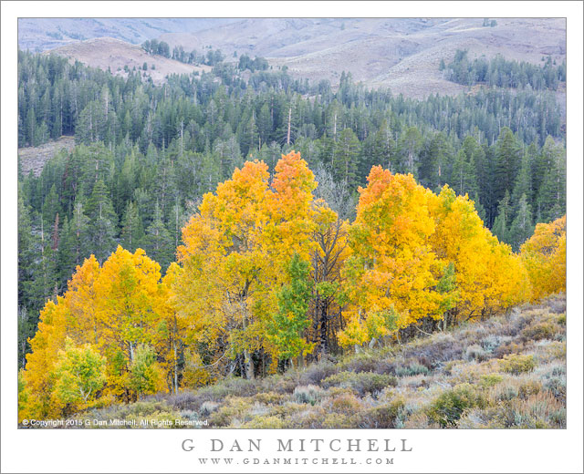 A row of autumn aspens in front of receding conifer forest and rising slopes near Sonora Pass on a Sierra Nevada fall evening