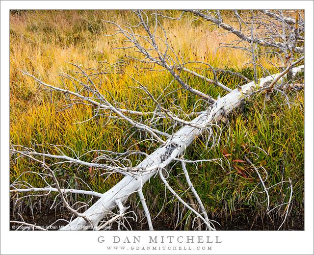 Fallen Tree, Lake Shore Autumn Grasses