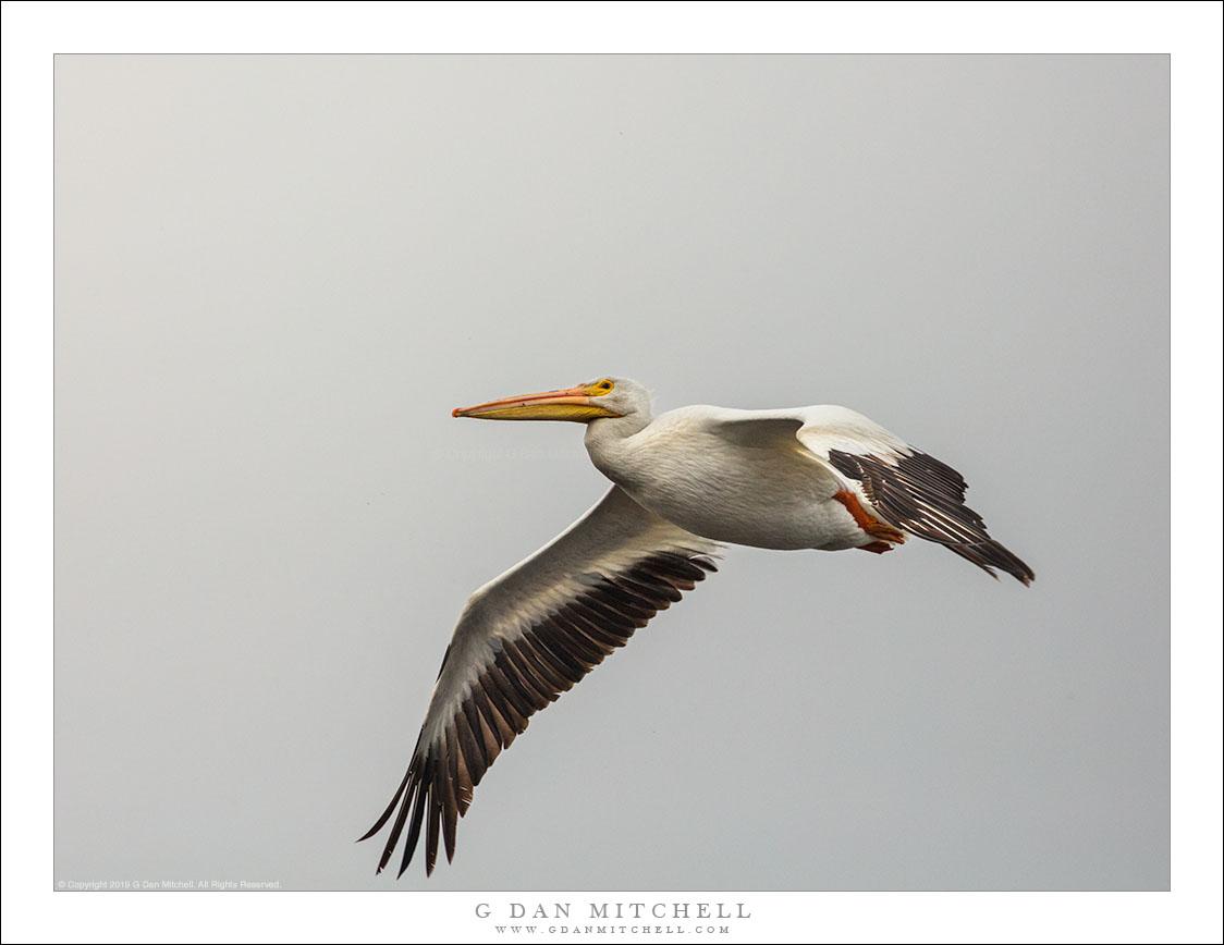 White Pelican In Flight