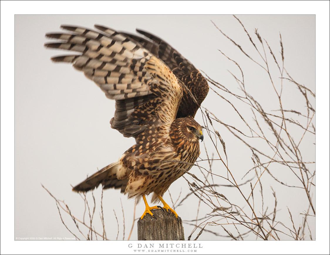 Northern Harrier Taking Flight