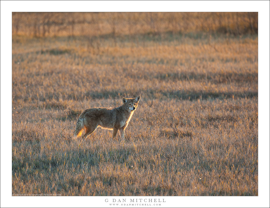 Central Valley Coyote