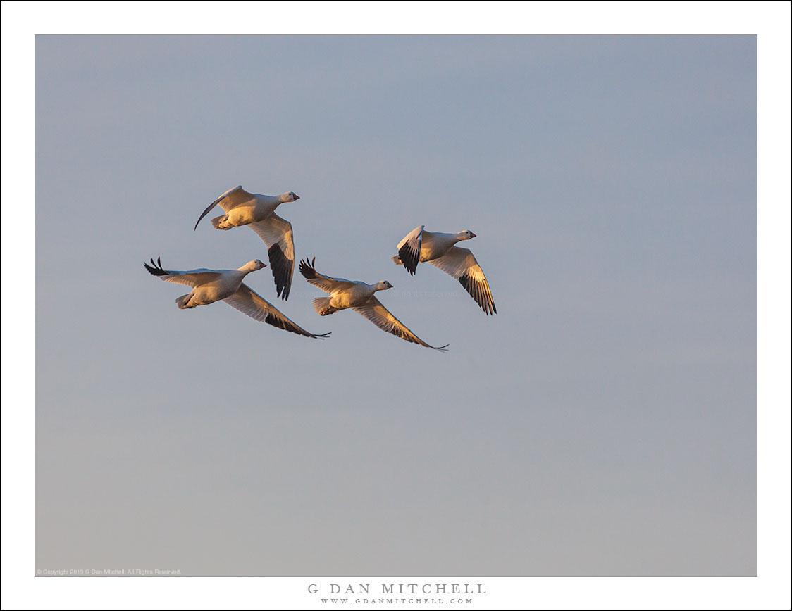 Quartet of Geese