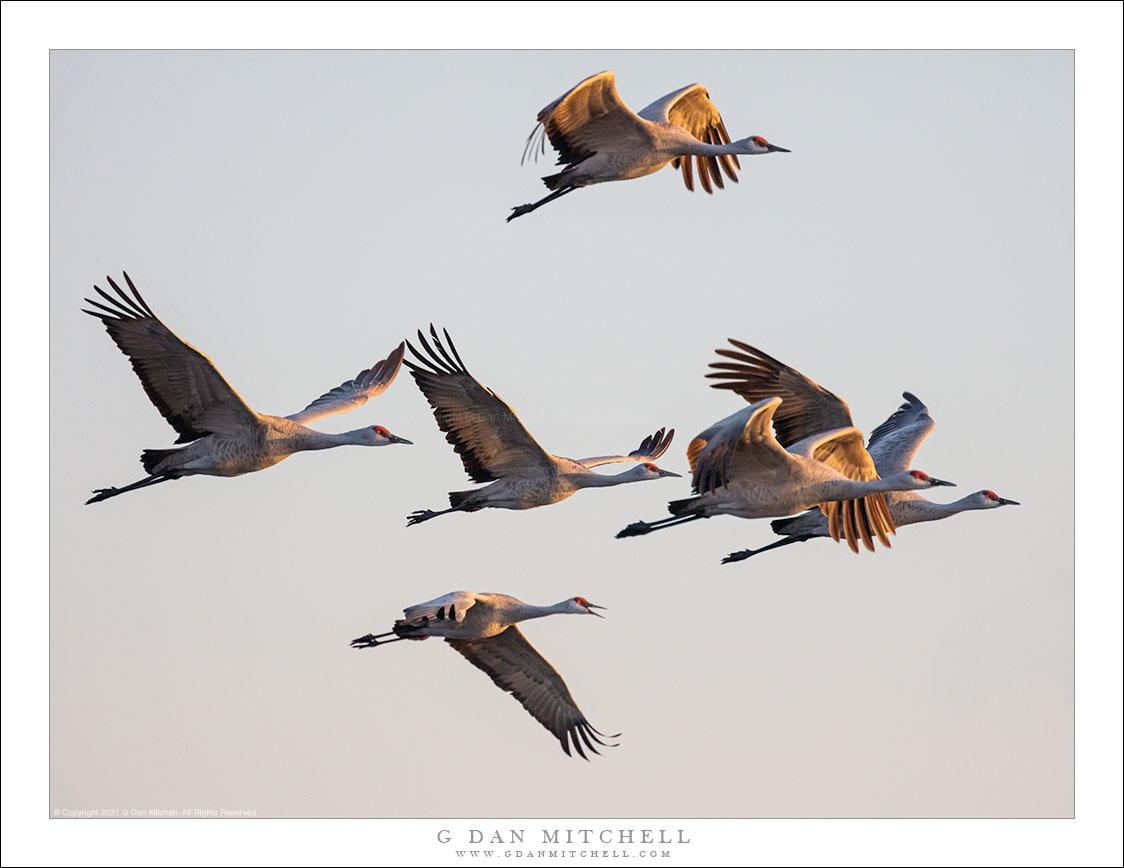 Sandhill Cranes, Morning Light