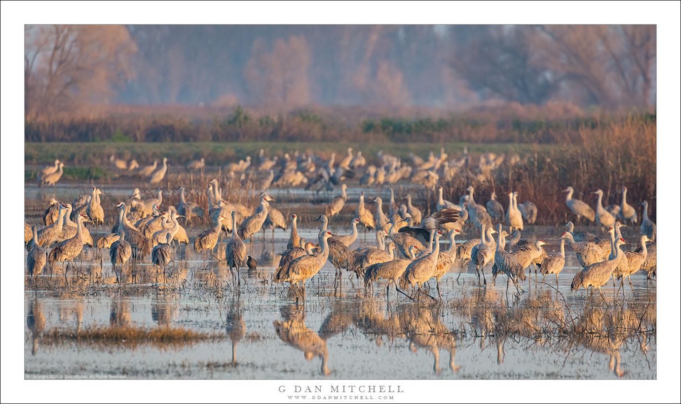 Sandhill Cranes, Winter Morning